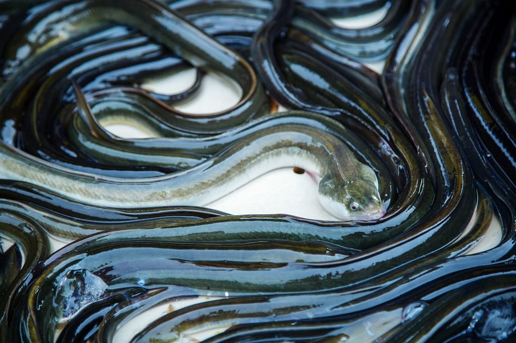 eel fish for sale at French provincial market