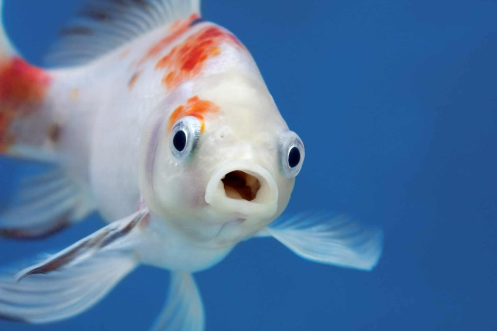 A fish with wide open mouth and big eyes, Surprised, shocked or amazed face front view